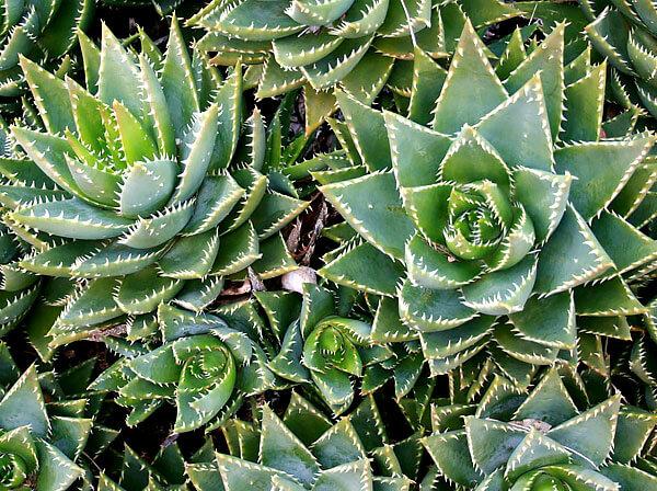 В дикой природе заросли этого растения - отличное укрытие для мелких животных: мышей, ящериц и змей