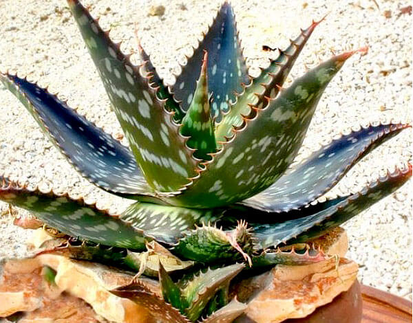 Эти шипы защищают растение от поедания различными травоядными животными (но не всеми).