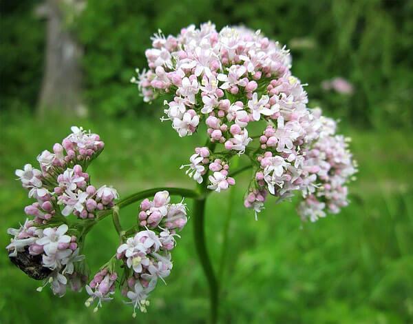 По этим соцветиям валериану можно отличить от близкородственных видов.