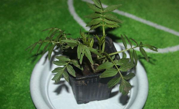 Если высадить растение при отсутствии морозов, оно с большой вероятностью примется.