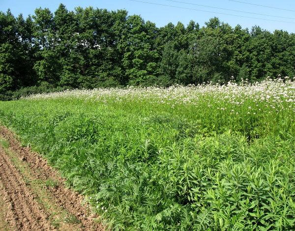 Собирают семена и корни с такой плантации только на второй год.