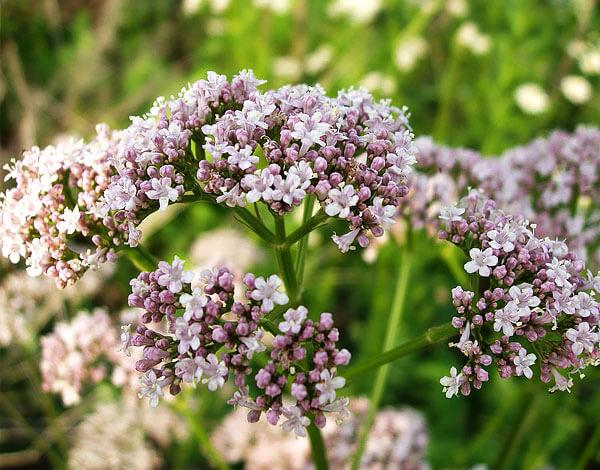 Характерен цвет цветов - белый с сиреневым низом лепестков.