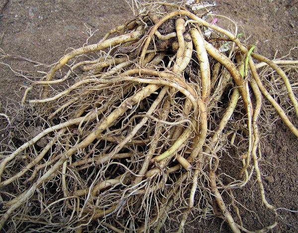Корневище - это основная часть, от которой в разные стороны отходят корни.