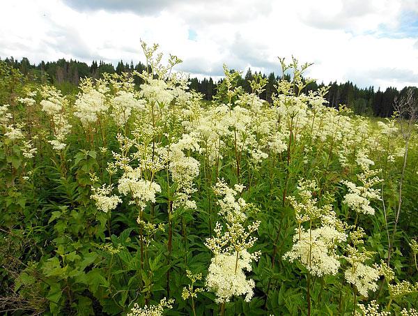 У лабазника и цветы, и листья хорошо отличаются от таковых у валерианы.