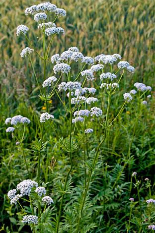 В общем оба растения могут произрастать в одних и тех же местах обитания рядом друг с другом.