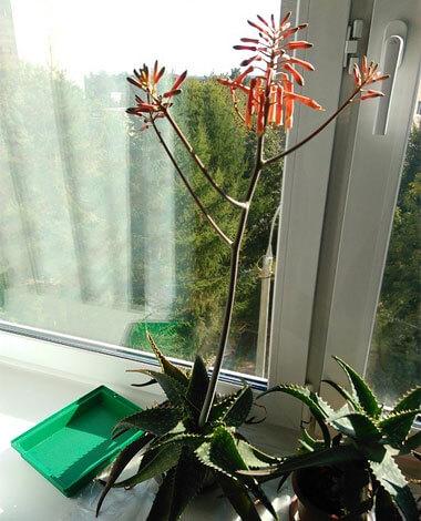 Когда таких цветущих растения много, они смотрятся особенно красиво.
