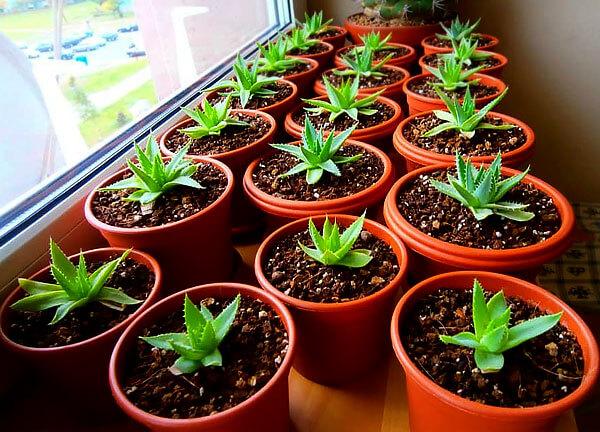 Такое выращивание значительно более длительное.