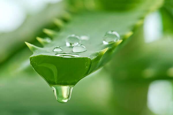 При нормальном поливе куста его листья накапливают большое количество сока, который легко получать и использовать.