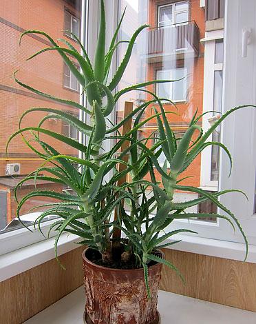 В благоприятных условиях растение может вырастать ещё более высоким.