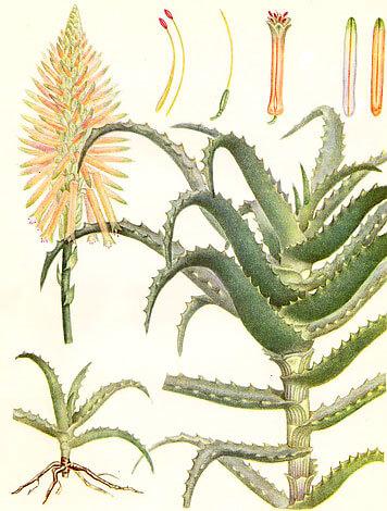 """С возрастом нижние листья растения отмирают и формируется """"ствол""""."""