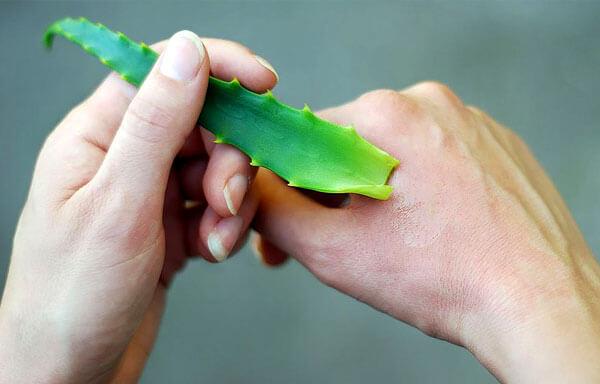 Сок растения оказывает ранозаживляющее и бактерицидное действия, но лечить серьезные дерматологические заболевания он не способен.