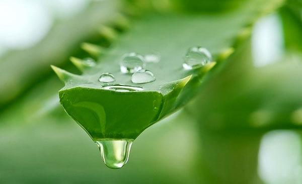 С точки зрения доказательной медицины разницы между применением сока и экстракта алоэ нет.