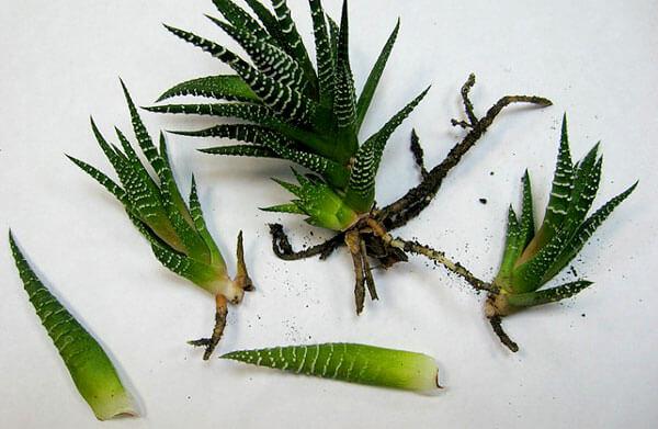 У каждого из них имеется небольшой корешок, достаточный для поглощения необходимого растению количества влаги.