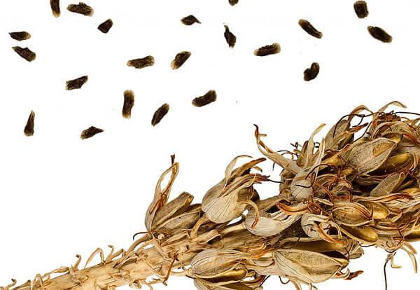 Выращивание алоэ из семян - самый сложный, но и самый интересный способ размножения его.