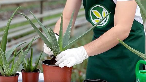 В маленьком для себя горшке растение может погибнуть.