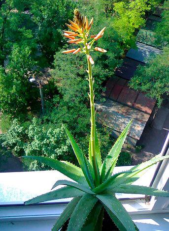 Типичный для рода вид соцветий.
