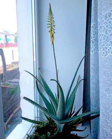 У разных сортов растения цветы могут отличаться как по цвету, так и по длине цветоноса.