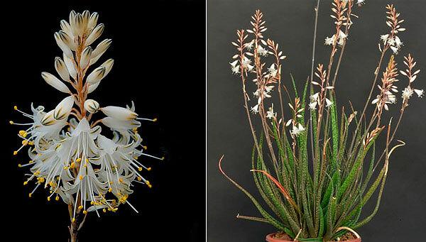 За счет нежного белого цвета цветов и утонченных листьев куст смотрится очень декоративно.