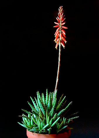 Аналогичная предыдущему виду ситуация: маленький компактный куст и длинное высокое соцветие.