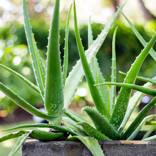 Уже эти листья можно использовать для получения сока алоэ.