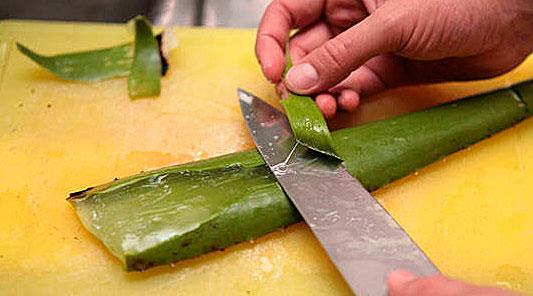 Из таких очищенных листьев затем можно получать сок и экстракт.
